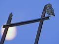 01-steenuil-in-maanlicht-op-boerenkar_pauline