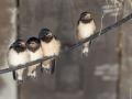 pauline-van-marle-02-boerenzwaluwen-in-schuur-01_prev