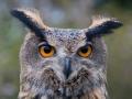 HG0_7093 Eagle Owl