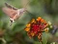 pieter-kolibrivlinder
