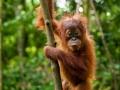 guido-009 - Jonge Orang oetan in Sumatra