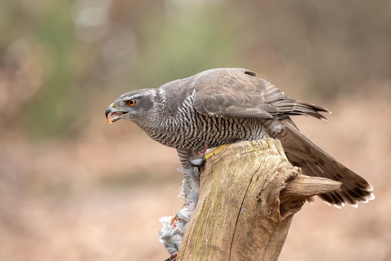 natasja-havik-met-prooi-duif-2916