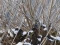 pauline-02-steenuil-in-besneeuwde-knotwilg