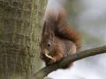 06-pauline-van-marle-volwassen-rode-eekhoorn