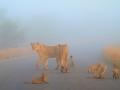 guidovdwater_leeuweninmist_zuidafrika