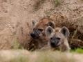 gutter_zoogdieren_gevlekte-hyena_005