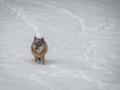 moniquepouwels-winter-wolf