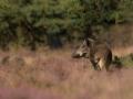 rinjo-wild-zwijn-8549