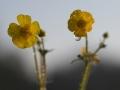 hg9_7795-boterbloemen-ochtend