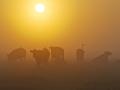 03-koeien-in-wei-rond-zonsopkomst-01a