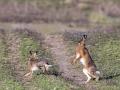 hazenrammelaars-achtervolging-paartijdtonrothengatter