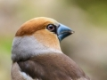 rinjo-20180413_appelvink-coccothraustes-coccothraustes_8161_h550
