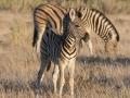 hg3_5569-jonge-zebra