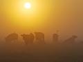 003-koeien-in-wei-rond-zonsopkomst-01a