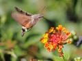 pieter-buma-kolibri-vlinder-toscane-augustus-2014
