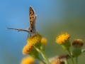 kleine-vuurvlinder-1849