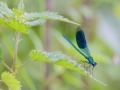 2016-07-05blauwe-weidebeekjuffer-hatertsebroektonrothengatter02klein
