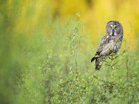 © Floris Smeets - Great grey owl