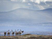 © Floris Smeets - Wild reindeer